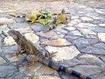 Iguana traffic Guayquil