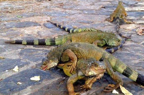 Guayaquil iguana park