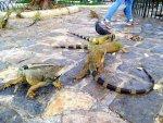Iguanas in Guayaquil