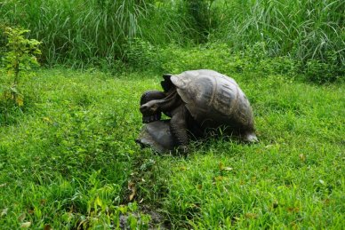Giant Tortoises mating Galapagos