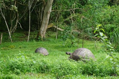 Pair of Giant Tortoises Galapagso