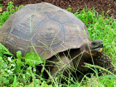 Galapagos Giant Tortoise close up