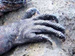 Galapagos iguna