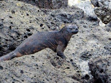 Hard to see iguana Galapagos