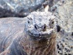 Flat snout marine iguana