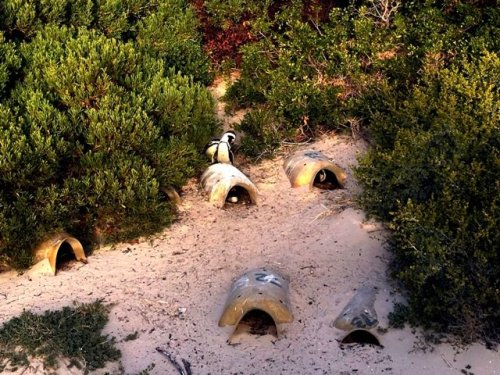 African Penguin nests Boulders Beach Capetown