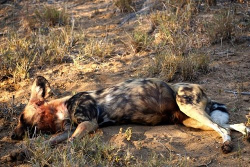 African Wild Dogs after Impala Kill