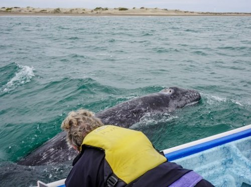 Baby Gray whale near boat mar Y Aventuras