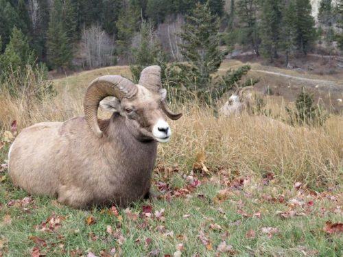 Bighorn ram with ewe