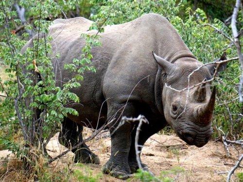 Black rhino Africa