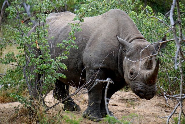Black Rhino Greater Kruger National Park