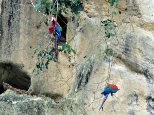 Bolivia-madidi-parrots