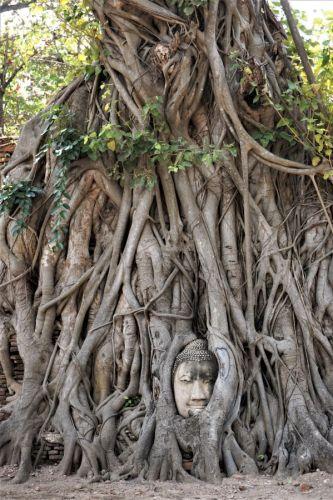 Buddha head embedded in banyan tree