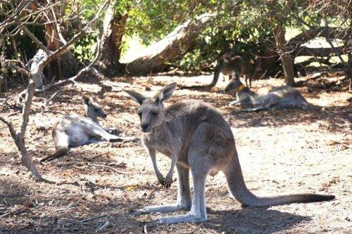Kangaroo reason to drive Great Ocean Road