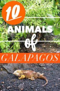 Planning your Galapagos Islands travel? Click to learn about 10 incredible Galapagos animals. #Ecuador #Galapagos #animals #wildlife