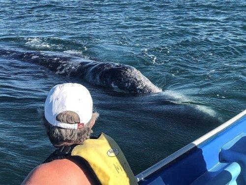 Gray whale approaching boat Mar Y Aventuras