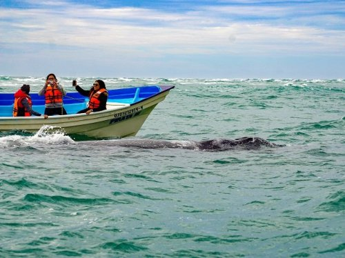 Gray whale beside boat Magdalena Bay