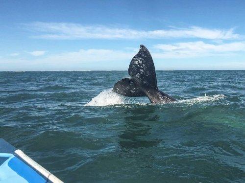 Gray whale fluke Magdalena Bay