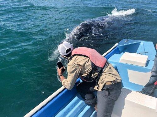 Gray whale swimming beside boat Mar Y Aventuras