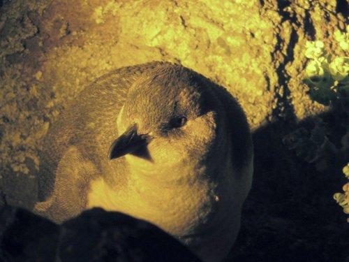 little penguins low head tasmania