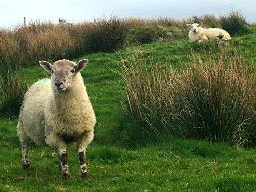 Irish sheep painted