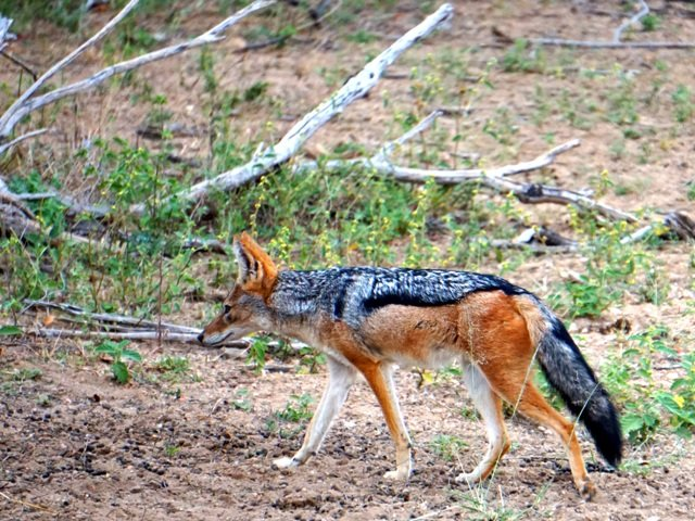 A braying jackal