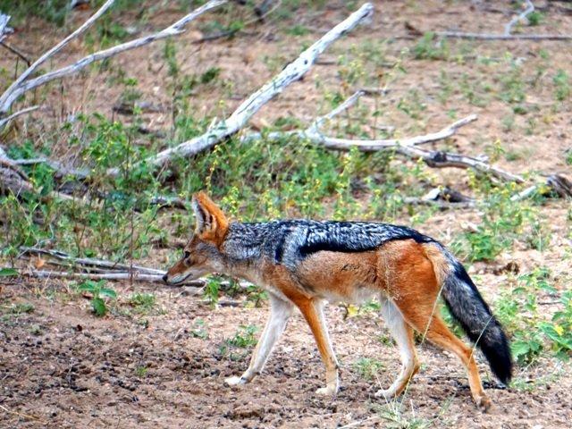 A braying jackal