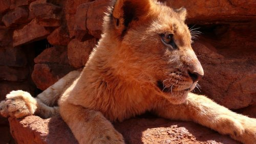 Lion Cub South Africa