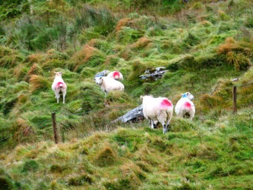 Painted sheep in Ireland