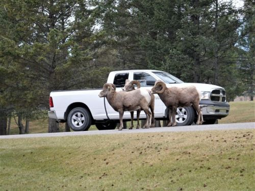 Rocky mountain sheep on road