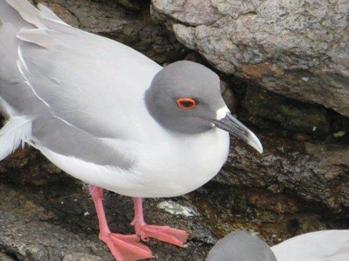 Swallow-tailed Gull Galapagos
