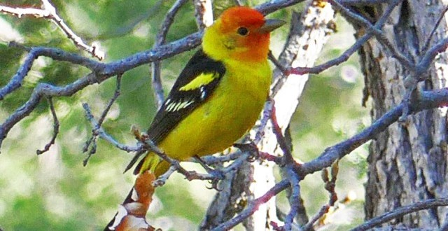 Western Tanager Discovering Birding