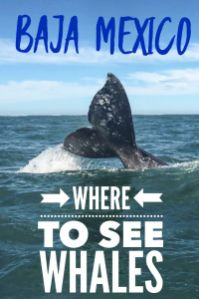 Where to find the best whale watching Baja California has to offer. Gray whale migration brings the friendly Pacific Gray whale to Magdalena Bay. Mar Y Aventuras provides ethical whale watch encounters creating a trip of a lifetime. #whalewatch #whalewatching #Graywhale