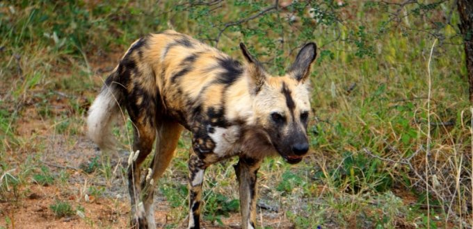 Wild African dog hunting