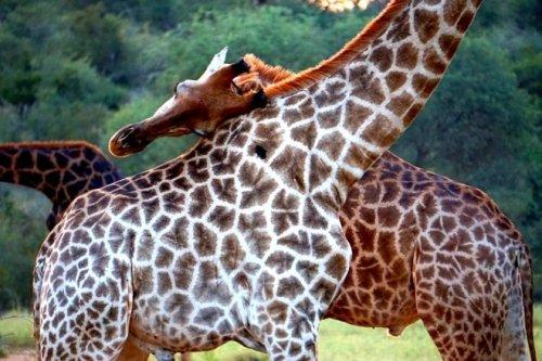 Giraffes African safara
