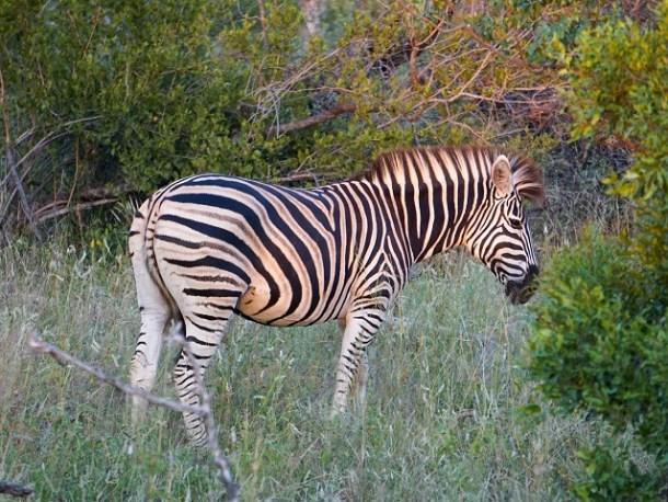 Profile of Zebra with its unique black and white stripe pattern