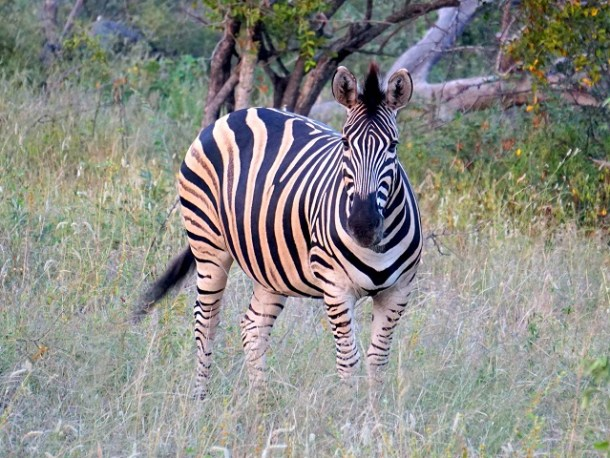 Zebra with its black and white stripe pattern checking us out