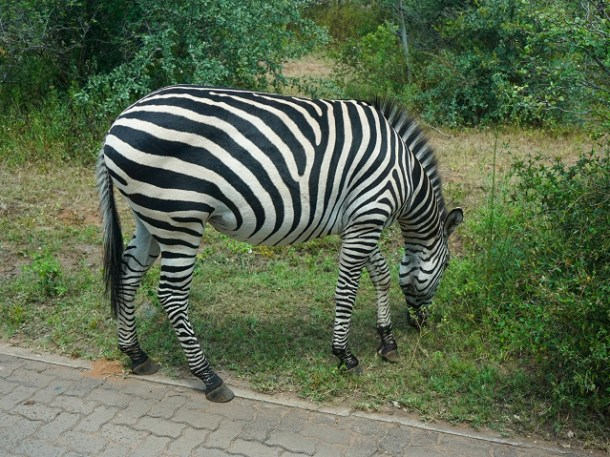 Zebra grazing at side of path with unique black and white stripe pattern