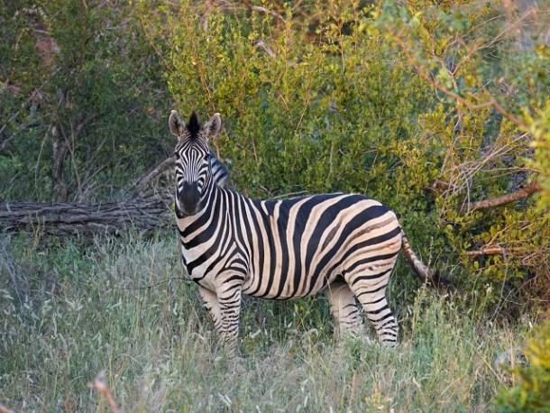 Zebra staring black and white stripe pattern