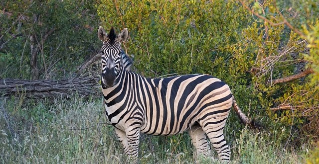 Zebra with black and white stripes