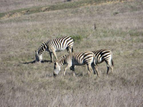 Zebras Hearst Castle
