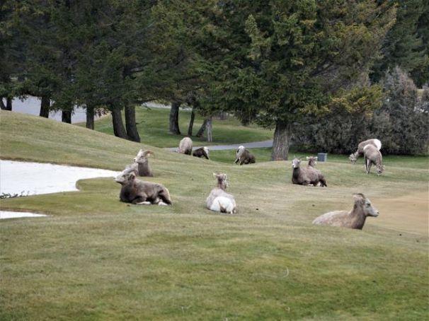 Bighorn sheep make challenging golf terrain in Radium