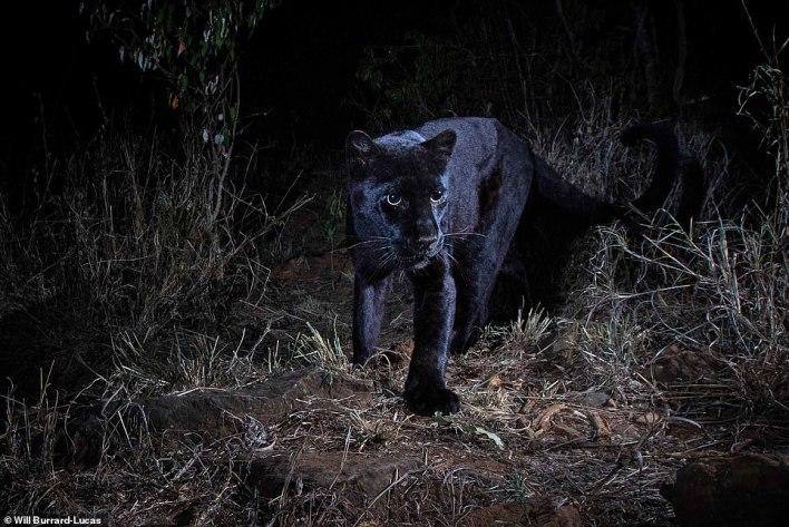 بالصور : أول ظهور للنمر الاسود في كينيا منذ قرن كامل 5