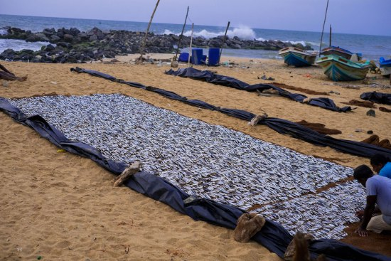 Fish drying on the beach in Negombo