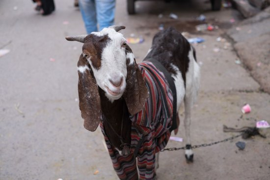 A goat in a jumper in India.