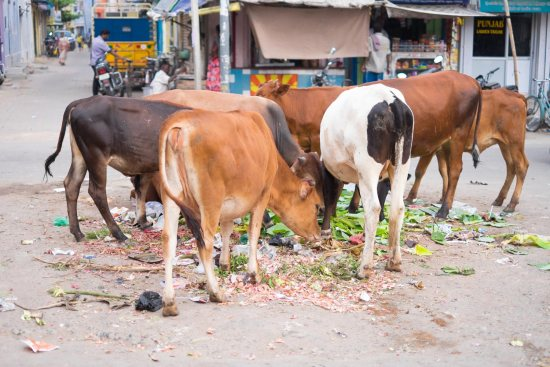 A group of cows eating in Madurai