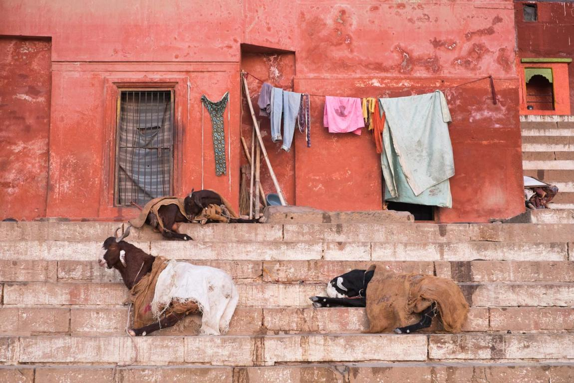 Goats in sack cloths in Varanasi