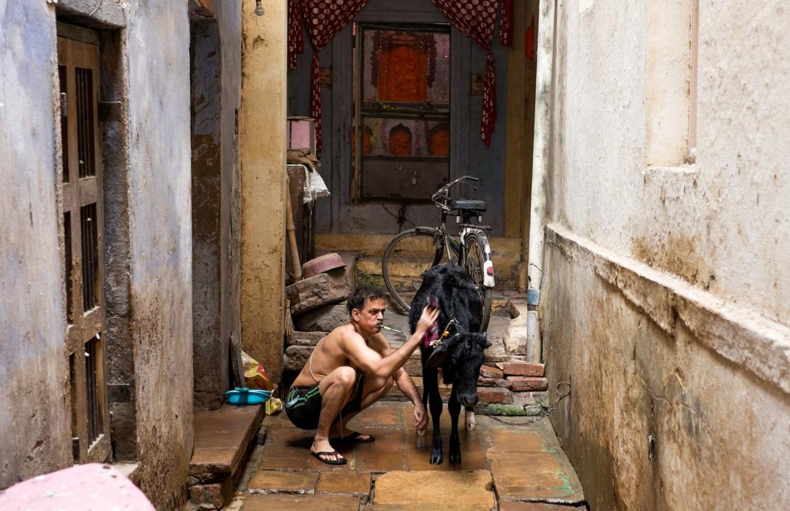 A man washes his calf in Varanasi