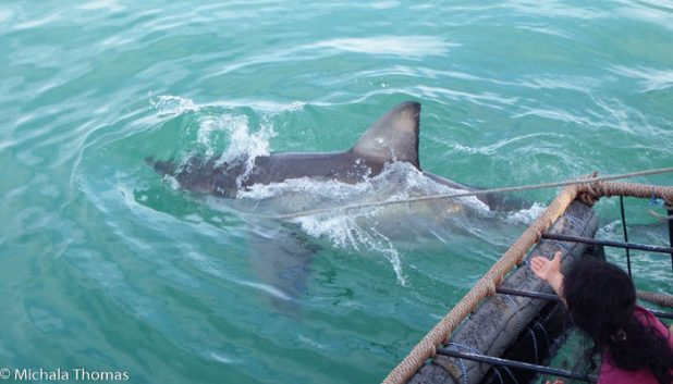 Great white sharks approaching the cage