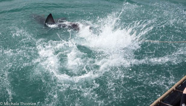 A great white shark showing its power